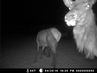 Elk in the yard