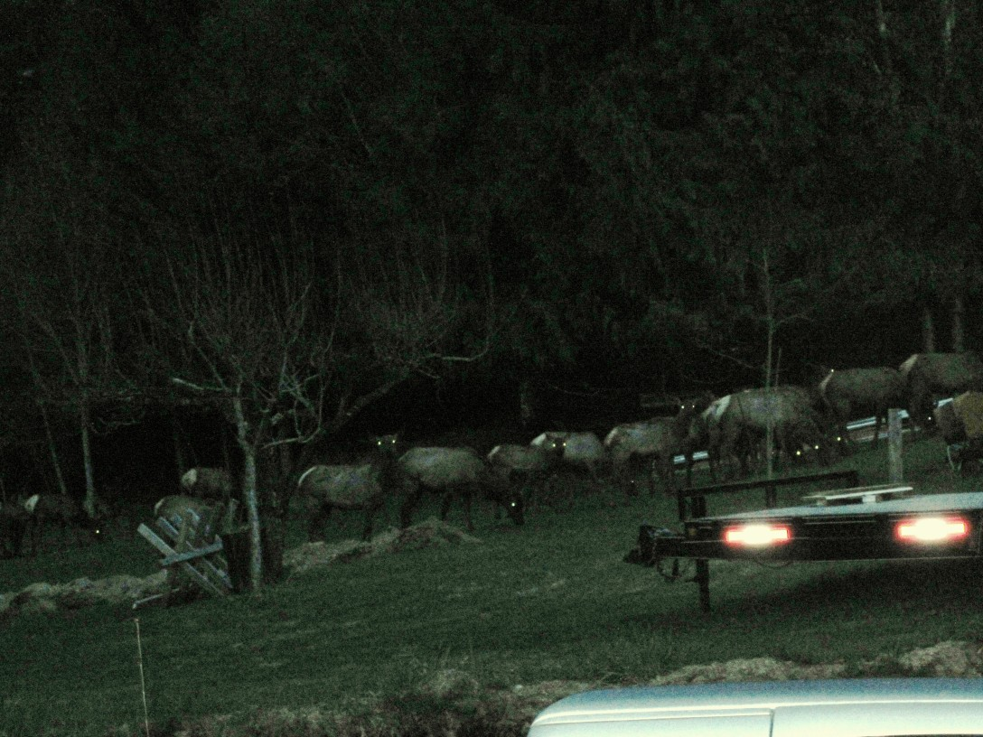 yard elk 003